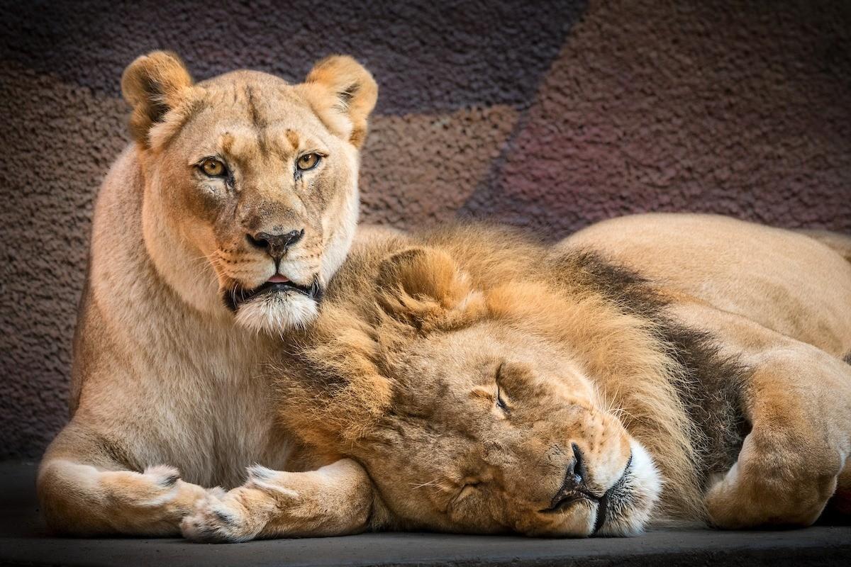 ▲▼獅子夫婦一同被安樂死(圖/翻攝自Facebook/Los Angeles Zoo and Botanical Gardens)