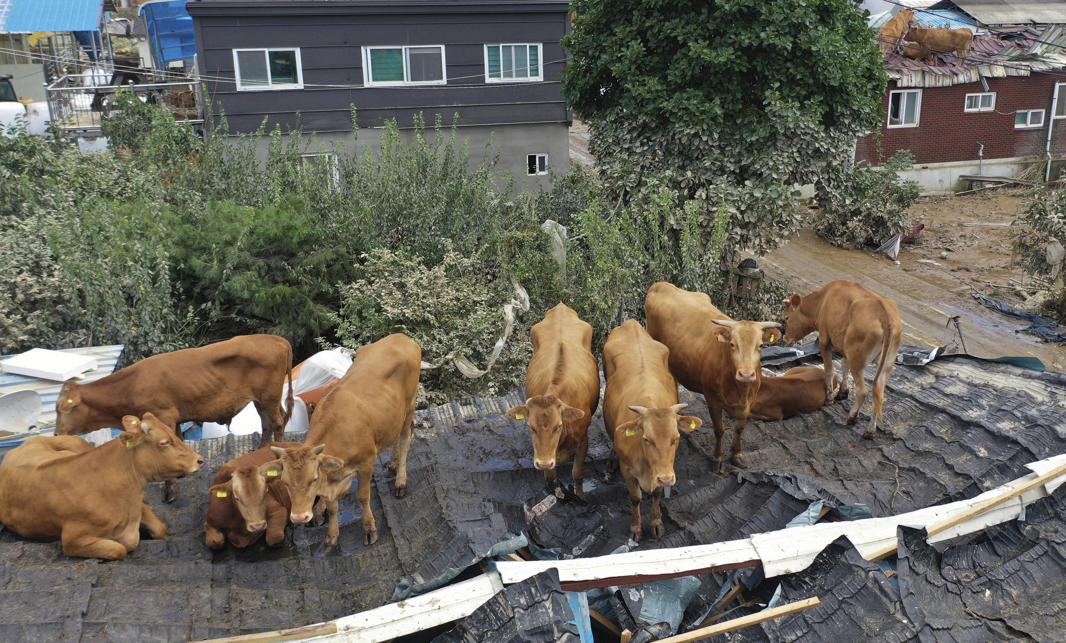 ▲▼河水氾濫,全羅南道求禮郡數十隻黃牛慘被沖到農舍屋頂。(圖/達志影像/美聯社)