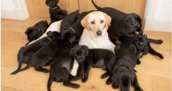 成長中的拉布拉多犬活力十足,全部纏著媽媽不放。(圖/翻攝自Solo Syndication)