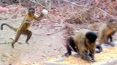 母卷尾猴拿石頭丟公猴,代表想愛愛啦