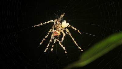 蜘蛛壞壞,把獵物屍體排成大型圖騰…