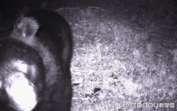 你在看我嗎?「憨萌黑熊」逛嘉明湖山屋被偷拍 林管處籲:食物確實收好  