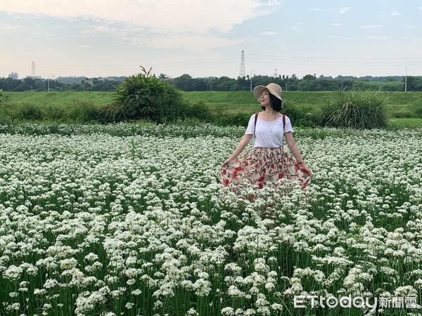 ▲大溪中新里韭菜花田2020.9.7花況。(圖/記者彭懷玉攝)