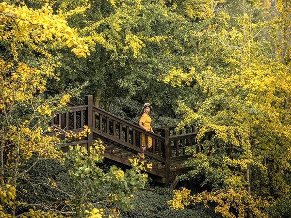 走進黃金隧道!秋季限定「銀杏森林」隱身山谷 還能在茶園看雲海 | ETt