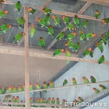 嘉義布袋有繁殖場終止飼養近300隻牡丹鸚鵡 北中南公益社團聯手送養展愛心