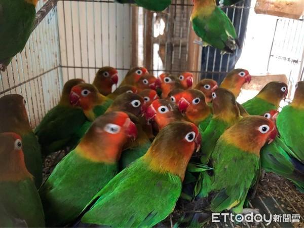 嘉義布袋繁殖場2百多隻牡丹鸚鵡 北中南公益社團聯手送養圓滿完成 | ET