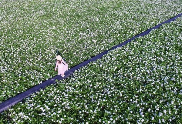 純白小清新花海!嘉義縣道下起浪漫10月雪 竟是空心菜花田
