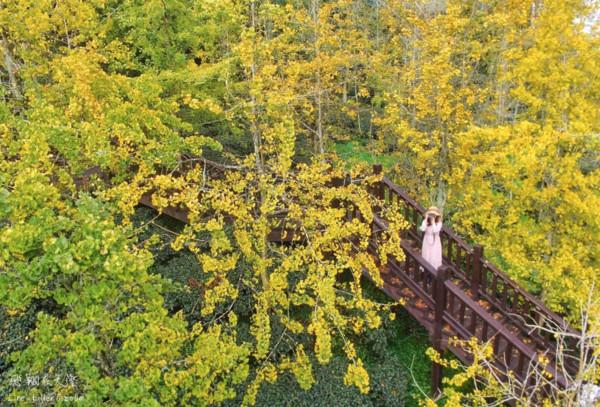 金黃森林中浪漫迷路!南投山谷裡的「銀杏森林」空拍美翻 | ETtoday