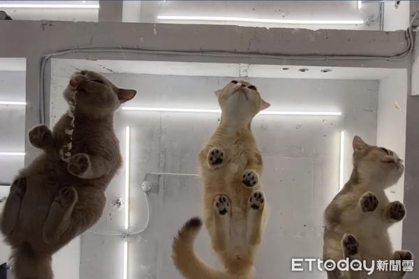 60秒療癒片! 玻璃透視3萌喵狂吸肉泥...「超高清黑肉球」萌暈網