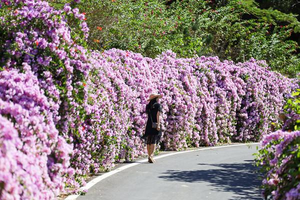 美翻!夢幻紫色花瀑小徑免費拍 苗栗「蒜香藤」花牆秘境