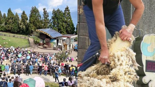 清境農場綿羊秀「手插嘴」惹議 真實原因曝!承諾不對羊開玩笑了 | ETt