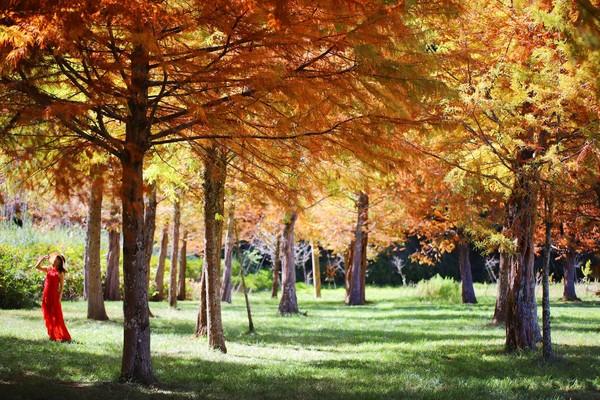 台中武陵農場楓葉正美!浪漫水杉林如置身歐洲 銀杏林準備進入尾聲