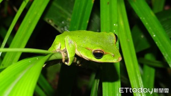國際特有物種「翡翠樹蛙」 農業局洪勝雄:公民復育新北獨有 | ETtod