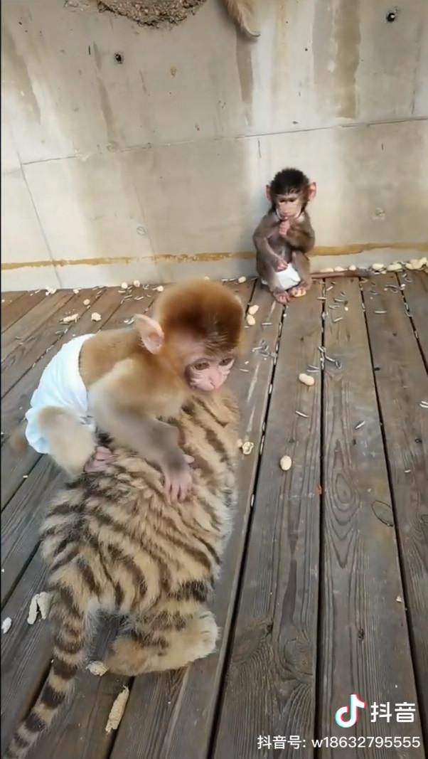 ▲▼小猴子跟小老虎一起玩。(圖/抖音/衡水野生动物园)