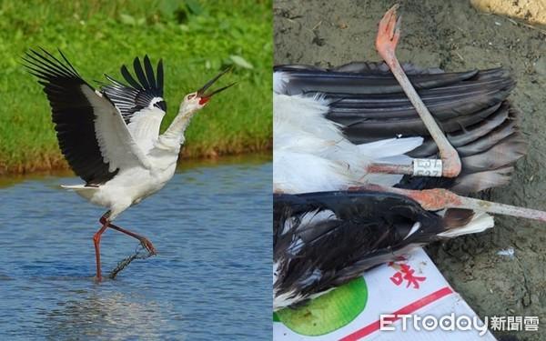 迷鳥「東方白鸛」電擊喪命 胃內殘留塑膠碎片鳥友心痛   ETtoday寵