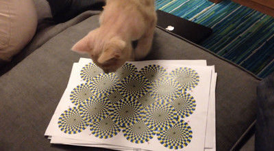 喵咪挑戰旋轉錯視圖..被騙了吧小笨蛋