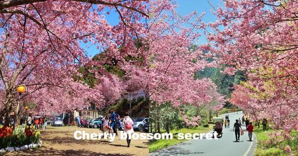 坐捷運就能賞櫻!全台10大粉紅聖地 還有百坪花林可以免費參觀