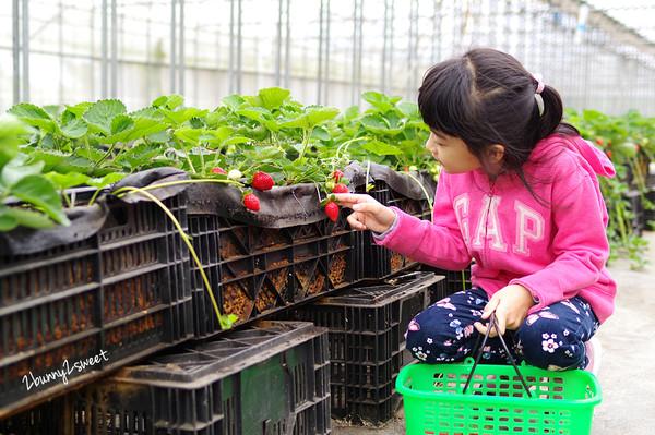 草莓季來了!台灣草莓新產地在中壢 溫室採果超乾淨、舒適