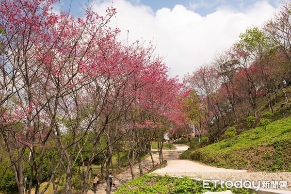 徜徉千棵櫻花樹下!桃園山中櫻花季1/16開跑 日系和服美照Get