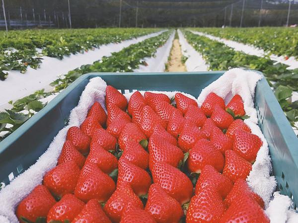 採草莓不用到大湖!住家附近就能輕鬆體驗 全台特搜7間草莓農場