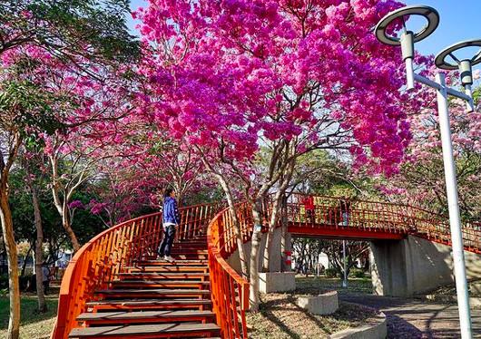樹上開滿棉花糖!台中「桃紅風鈴木秘境」大爆發 天橋鋪夢幻花毯