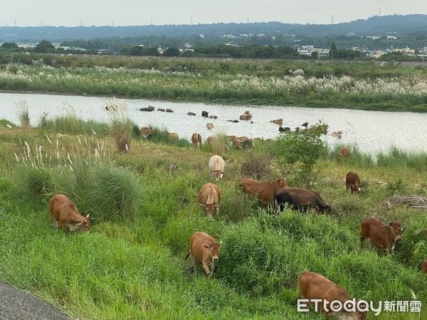 彰化另類「塞外風光」!200多隻牛貓羅溪畔悠哉吃草成打卡景點   ETt