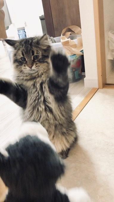 ▲▼收到新娃娃很激動的貓咪(圖/翻攝自推特)