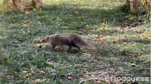 墾丁大街「人類淨空」罕見野生動物回來了!居民驚:每天走在路上