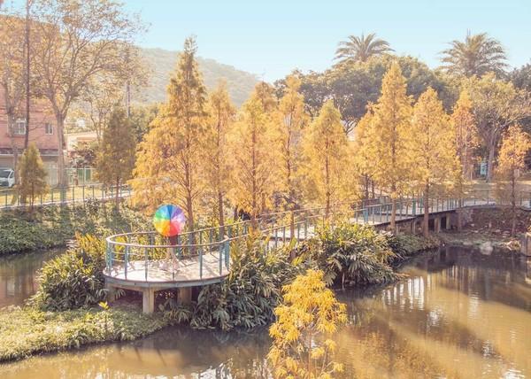 在地人才知!龜山「湖畔落羽松林」免費看 2月迎櫻花季