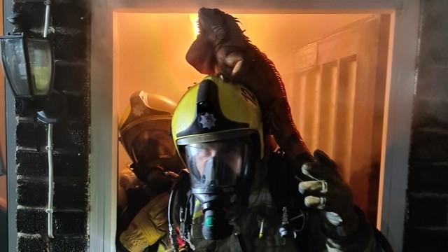 ▲▼鬣蜥躍上消防員安全帽,搭順風車逃離火場。(圖/翻攝自Twitter/@northantsfire)