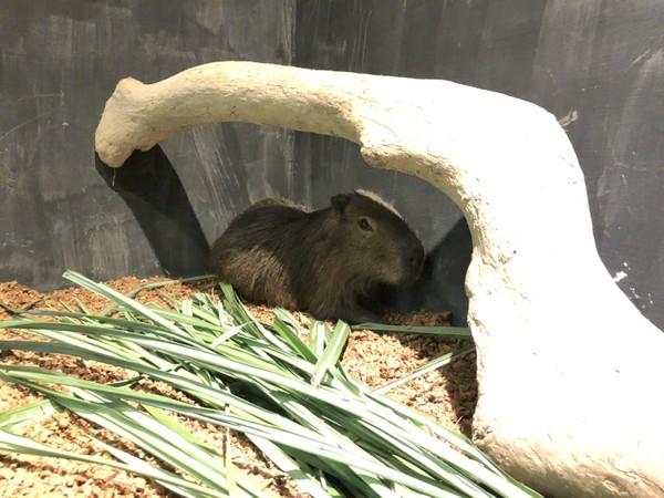 新竹動物園也有「水豚君」了!半歲男孩超萌 晚上再到護城河賞燈 | ETt