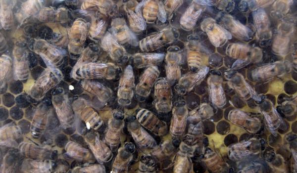 蜜蜂。(圖/達志影像/美聯社)