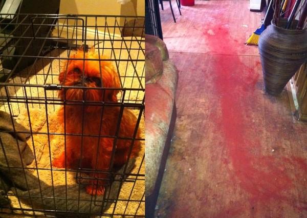 返家見白犬「全身紅血」地染大片詭跡嚇壞! 他找到關鍵鐵證氣炸