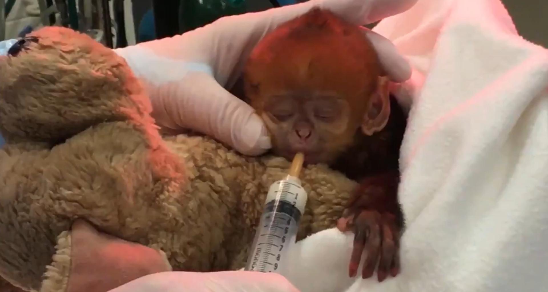 ▲▼ 該物種第一隻培育的小猴子出生。(圖/翻攝自twitter/@phillyzoo)