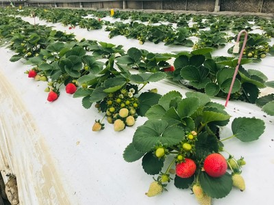 億光研發草莓專用轉色燈 香水草莓顏色轉紅提升30%