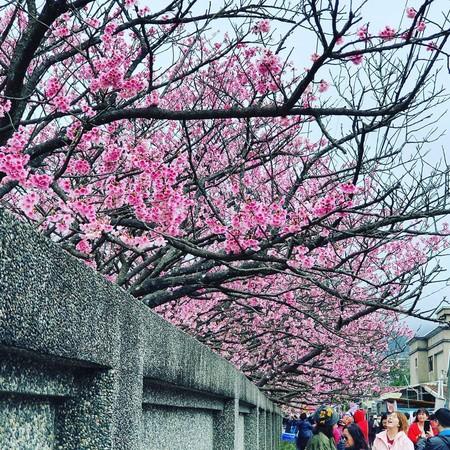 把握粉嫩風暴!陽明山「櫻花巷」迎滿開 順遊路線、拍攝點大公開 | ETt