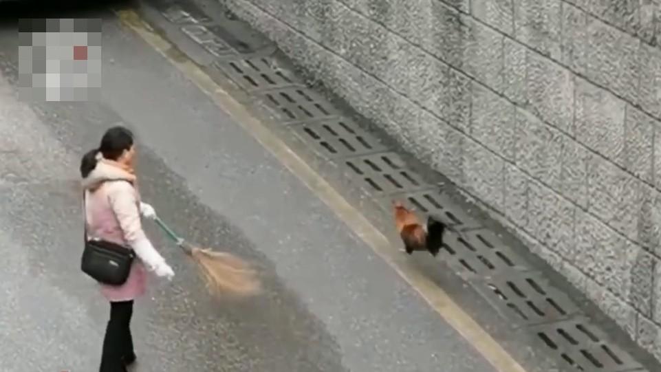 ▲▼公雞竄上馬路,飼主拿掃把狂追(圖/翻攝自微博/點時視頻)