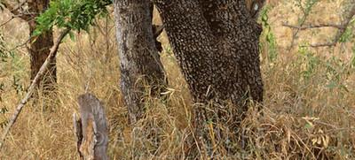 找出圖中的花豹,請注意你只有10秒!