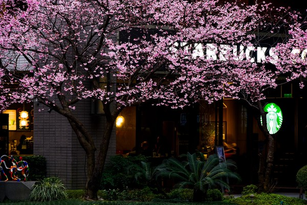 櫻花樹下喝咖啡!林口「最美星巴克」三色櫻滿開 夜晚點燈更浪漫 | ETt