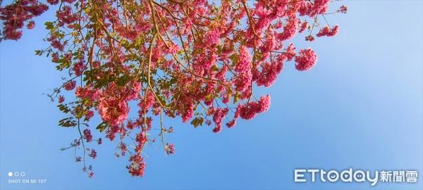 大林三疊溪明華濕地生態園區 洋紅風鈴木粉嫩花球盛開 | ETtoday地