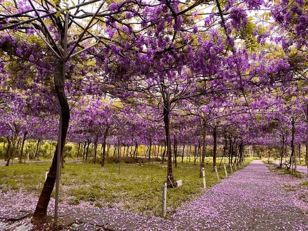 超過千株日本品種準備好了 全台最大紫藤花園3/20提早開放