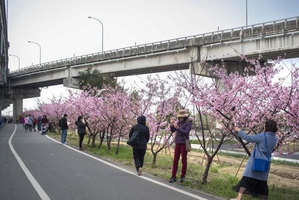 ▲▼新竹市櫻花景點,新竹市賞櫻。(圖/新竹市政府提供)