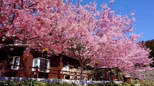 粉紅海童話仙境免費看!拉拉山3處「櫻花爆滿」秒飛歐洲鄉村渡假
