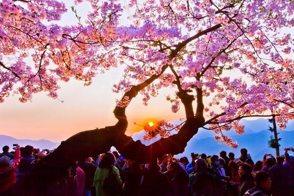 今年春天全台5大必看花海!阿里山櫻花染粉山頭 順遊蒂芬妮藍水庫