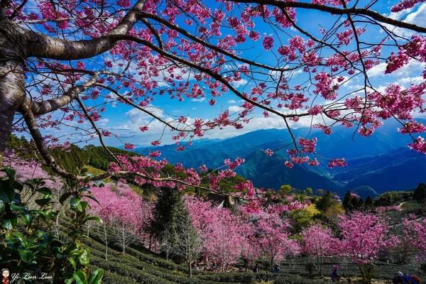 360度俯瞰粉紅雲海仙境!新竹山上的「櫻花茶園」此刻最美 | ETtod