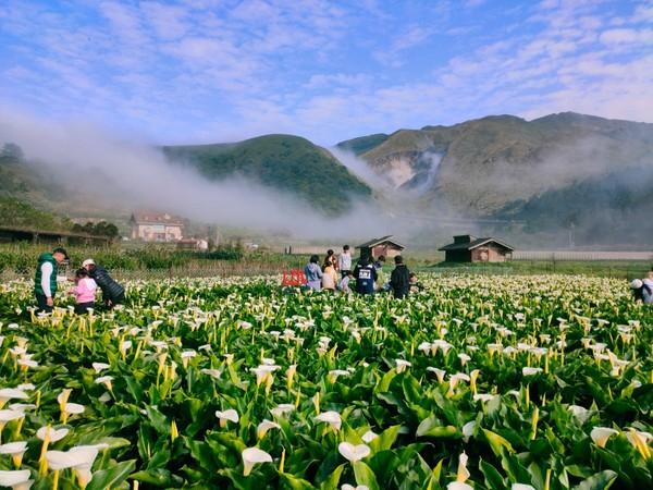 陽明山「竹子湖海芋季」已花開8成!採花先預約 有機會賞山中雲瀑 | ET