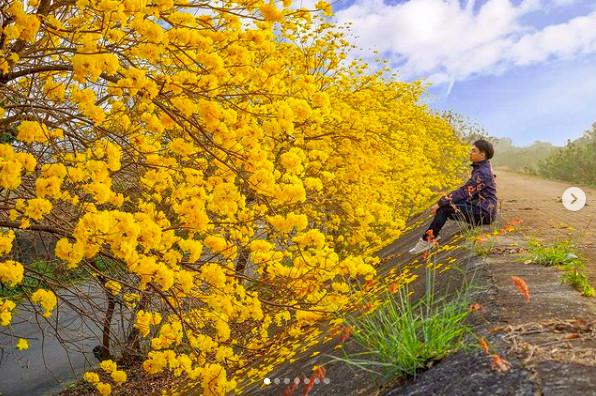 堤防開滿「奶油爆米花」!嘉義黃花風鈴木秘境 1公里金黃大道超夢幻