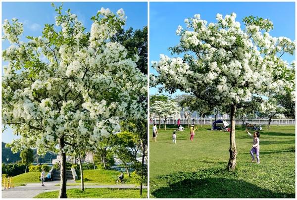 四月雪提前報到!新北、桃園「流蘇王爆開」來場花樹下野餐