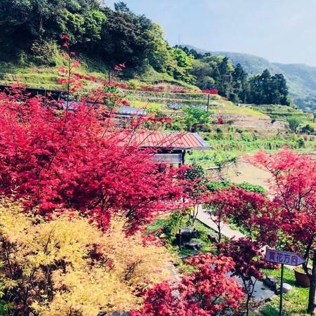 不只海芋!陽明山2處「紅楓」花期曝光 梯田染上漸層色調超夢幻