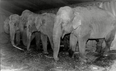 大象瑪莉之死:一段馬戲團動物的悲歌